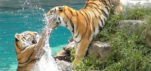 Два-тигра