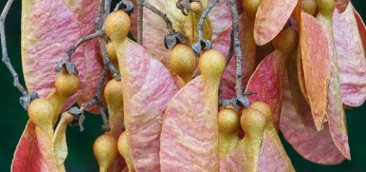 masterfile of branch of Argyrodendron seeds