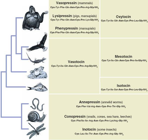 У самых разных представителей животного царства взаимоотношения с сородичами регулируются одними и теми же веществами — нейропептидами окситоцином, вазопрессином и их гомологами.
