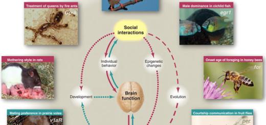 Гены, мозг и социальное поведение связаны сложными отношениями. Эти отношения действуют на трех временных масштабах: (i) на уровне физиологии — влияя на активность мозга (сплошные линии), (ii) на уровне развития организма — через экспрессию генов в мозге и эпигенетические модификации (линия из точек), (iii) на эволюционном уровне — через естественный отбор (пунктирная линия). Направление влияния: розовые стрелки — от социальных отношений к изменению функций мозга и поведения, стрелки цвета морской волны — от генов к социальному поведению. Изображенные животные (сверху по часовой стрелке): зебровая амадина (T. guttata), цихлида (A. burtoni), медоносная пчела (A. mellifera), дрозофила (D. melanogaster), прерийная полёвка (M. ochrogaster), крыса (R. norvegicus), огненный муравей (S. invicta). Курсивом на фотографиях даны названия генов, связанных с тем или иным видом социального взаимодействия.