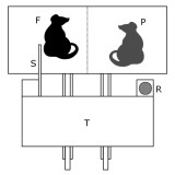 Дизайн эксперимента. Подопытная крыса (F, focal rat) может потянуть за палочку (S, stick) и пододвинуть поднос (T, tray) к клетке. При этом ее партнер (P, partner), отделенный металлической сеткой, получит угощение (R, reward), а подопытная крыса ничего не получит.