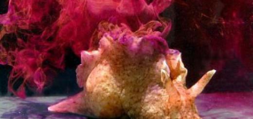 Гигантский моллюск аплизия выбрасывает чернила, когда сердится