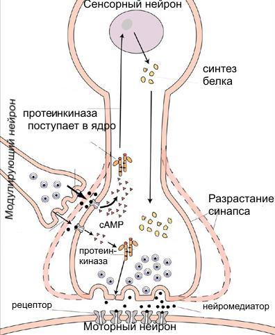 За эту картинку Эрику Канделу дали Нобелевскую премию. Здесь показано, как в простейшей системе из трех нейронов формируется кратковременная и долговременная память