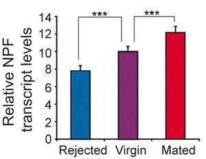 Рис. 2. Различия в уровне транскрипции нейропептида F (Relative NPF transcript levels) у «неудачников» (rejected), девственников (virgins) и «счастливчиков» (mated).