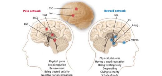 Системы в мозгу, связанные с обработкой болевых сигналов (Pain network), включая и социальную боль, и получением положительного подкрепления (Reward network). Система обработки болевых сигналов состоит из дорсальной зоны передней поясной коры (dACC — dorsal anterior cingulated cortex), островка (Ins — insula), соматосенсорной коры (SSC — somatosensory cortex), таламуса (Thal — thalamus), центрального серого вещества (PAG — periaqueductal gray). Система положительного подкрепления, или получения награды, состоит из вентральной области покрышки (VTA — ventral tegmental area), вентральной части полосатого тела(VS — ventral striatum), вентромедиальной префронтальной коры (VMPFC — ventromedial prefrontal cortex) и миндалины (Amyg — amygdala)