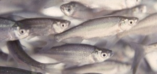 Североамериканские стайные рыбки Notemigonus crysoleucas.
