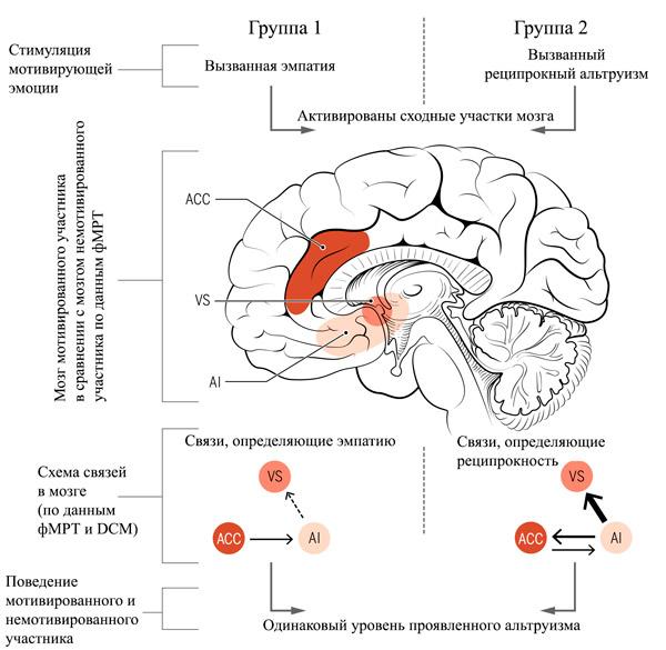 Схема возбуждаемых участков мозга при оценке альтруистического поведения и передача возбуждения между целевыми участками мозга (в нижней части рисунка).